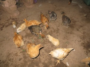 Chickens and guinea pigs ran around our feet