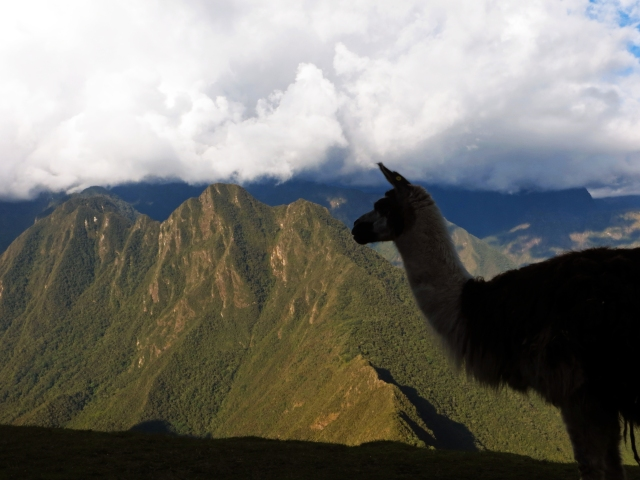 No inca trail is complete without Llamas