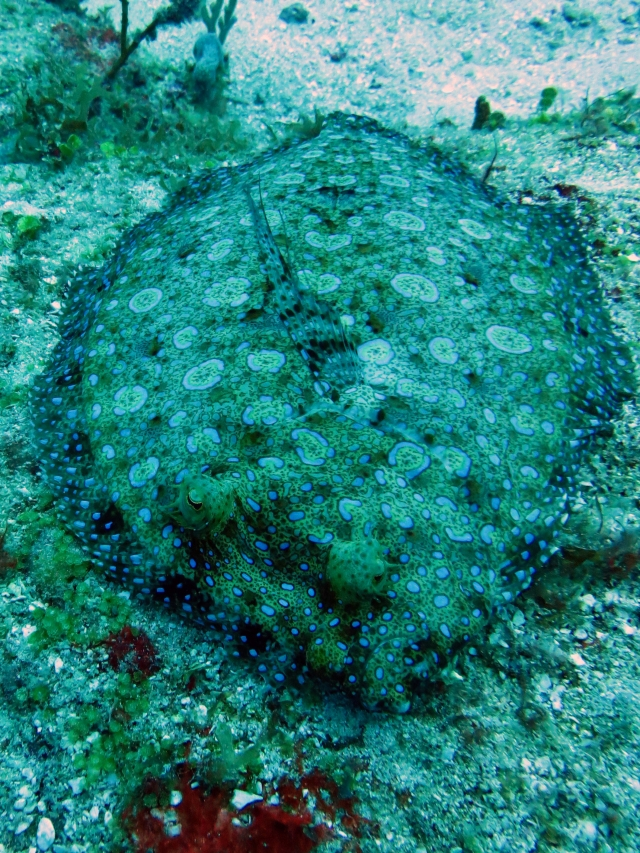 The flounder that was so well camouflaged