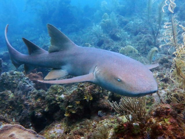 Spot, the friendly nurse shark