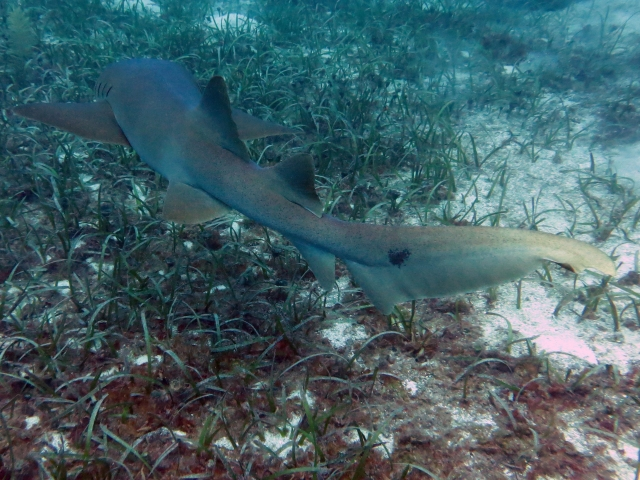 You can see the spot on the tail that gave this shark its name