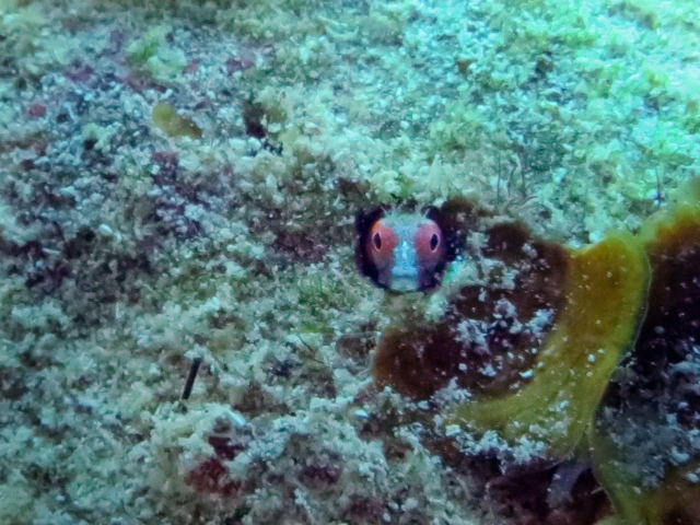 Isn't this blenny cute