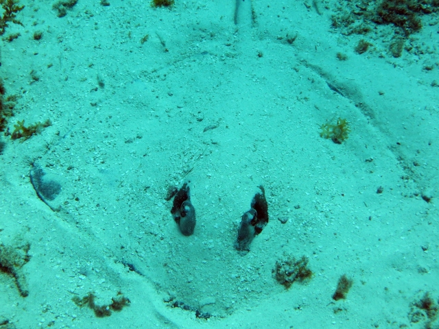Can you spot the Stingray hiding in the sand?