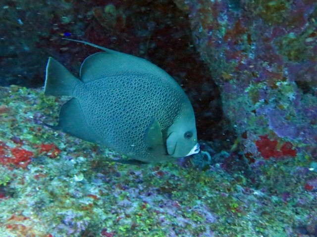 grey angel fish