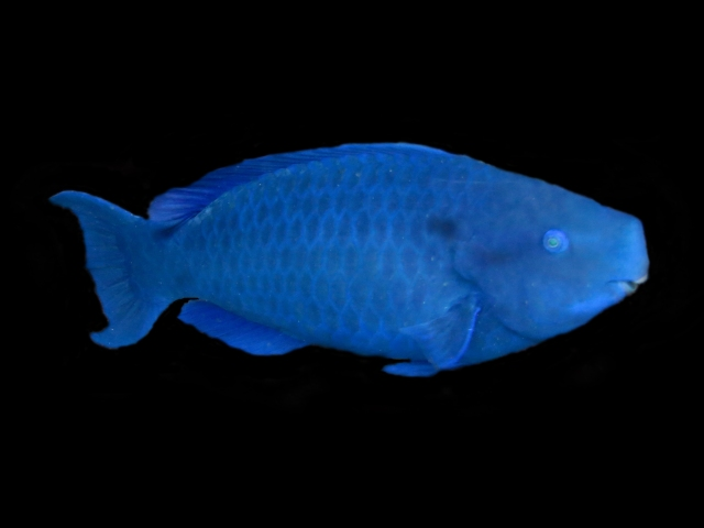 A parrot fish (I blacked out the background as I think it looks good!)